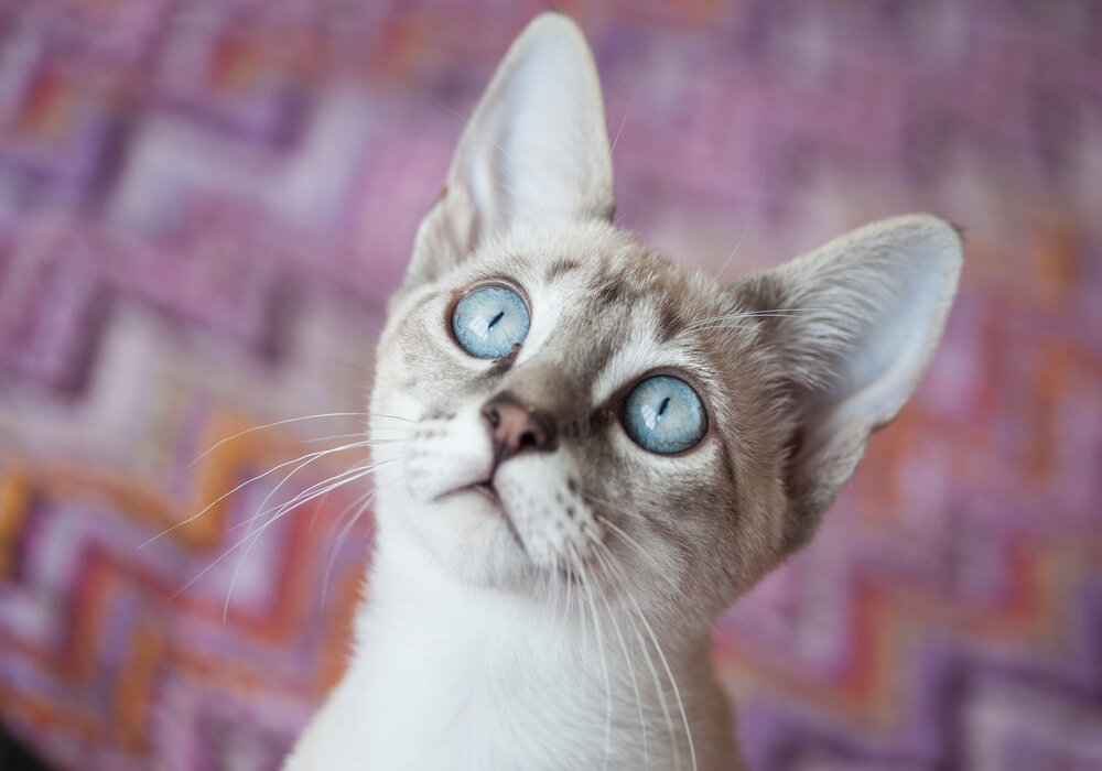 cat blue eye colors