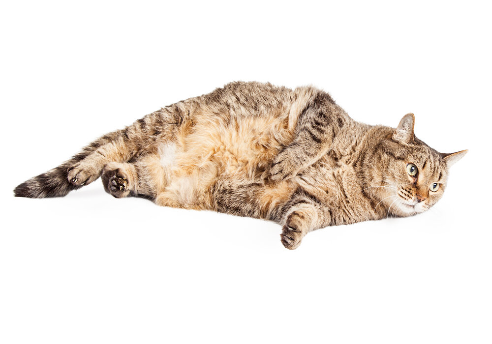 How to Help Your Cat Gain Weight
