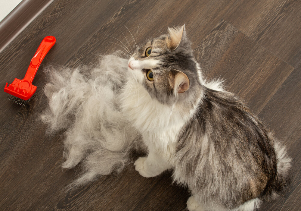 Why Cats Shed So Much