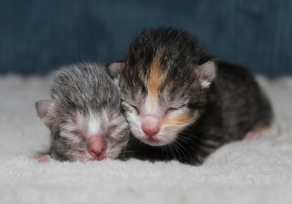 How to Stop Your Cat from Moving Her Newborn Kittens
