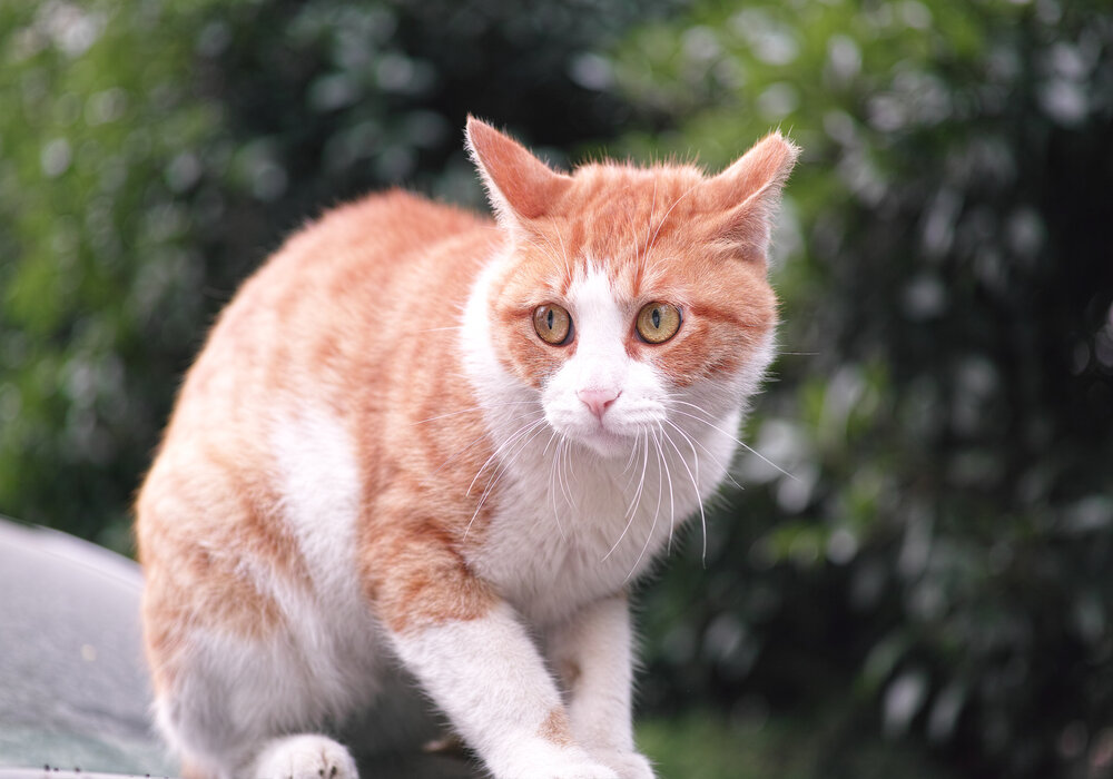 Why Is My Cat Limping - How to Know If Your Cat Pulled a Muscle