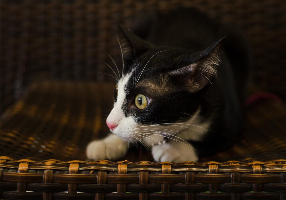 cat sounds trilling