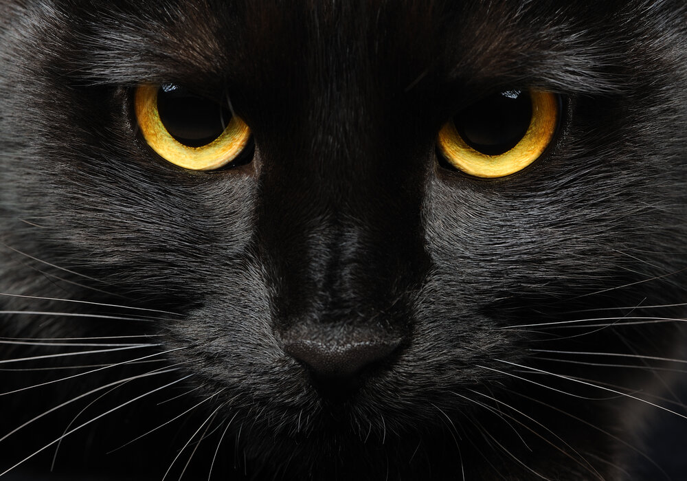 yellow cat eye color