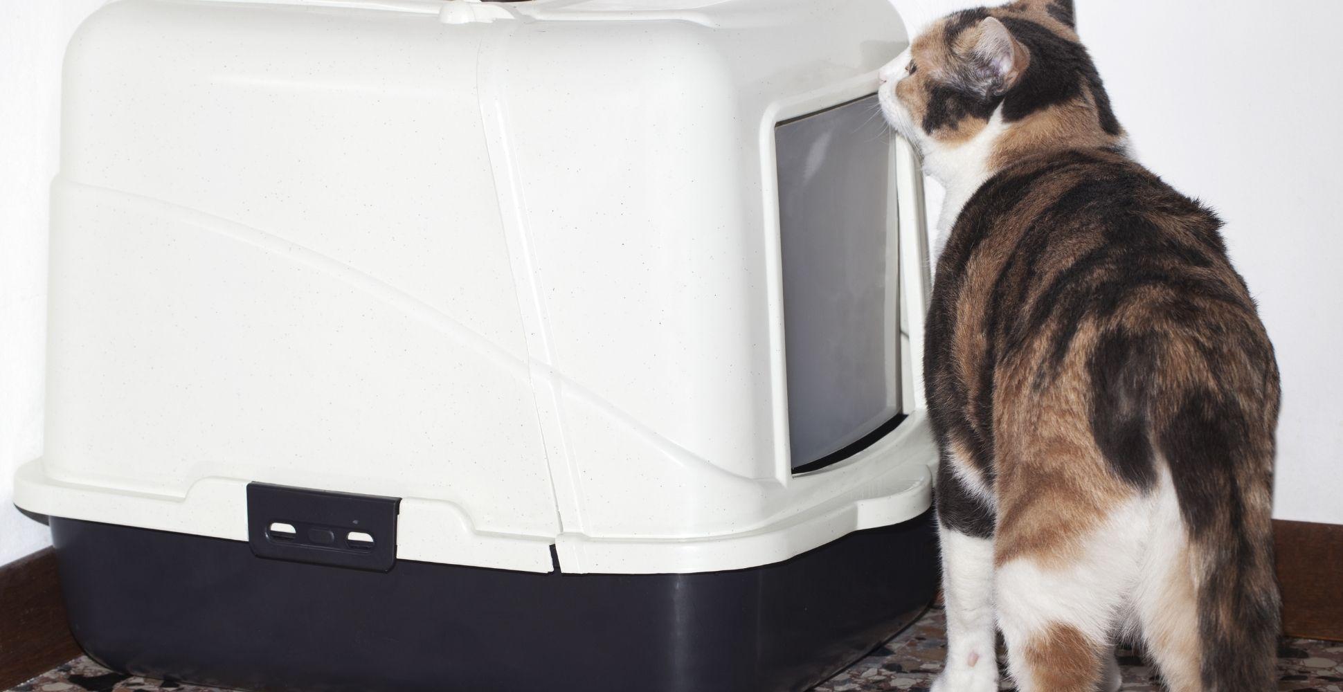 best-litter-box-for-big-cats